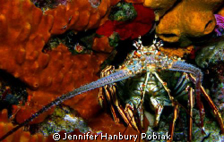 Caribbean Lobster on Tormentos Reef in Cozumel, Mexico. by Jennifer Hanbury Pobiak 